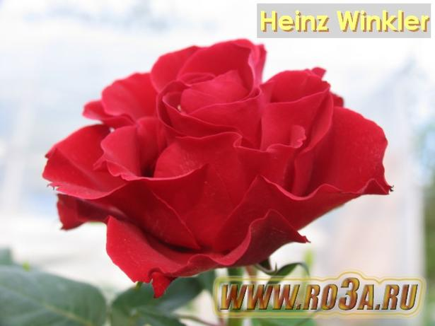 Роза Heinz Winkler Хайнс Винклер