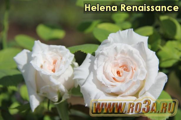 Роза Helena Renaissance Елена Ренессанс