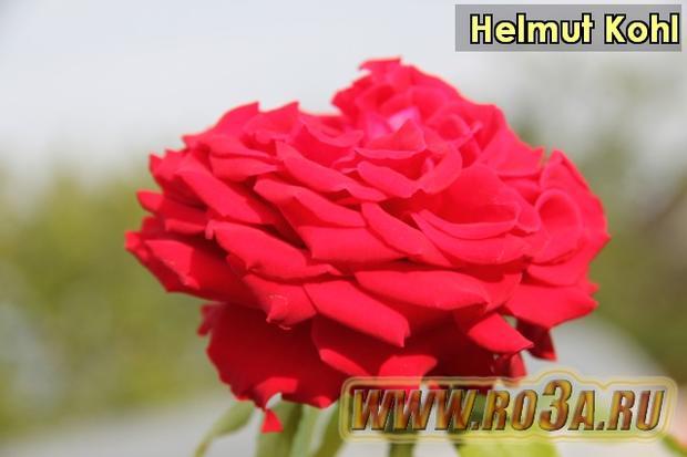 Роза Helmut Kohl Гельмут Коль