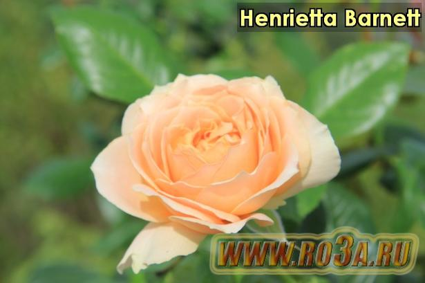 Роза Henrietta Barnett Генриетта Барнет