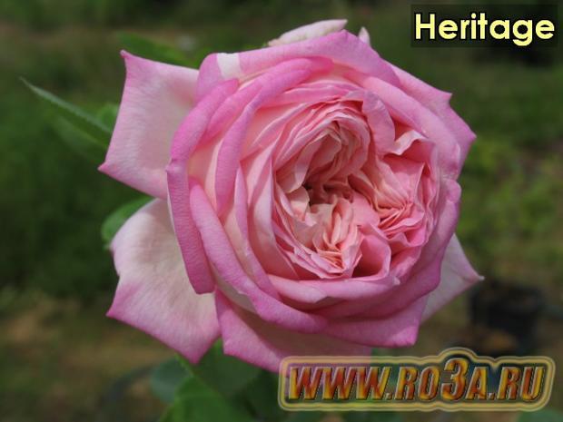 Роза Heritage Херитадж