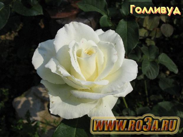 Роза Holliwud Голливуд