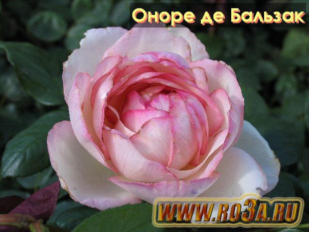Роза Honore De Balzac Оноре де Бальзак