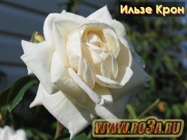 Роза Ilse Krohn Superior Ильзе Крон