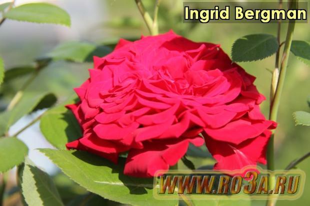 Роза Ingrid Bergman Ингрид Бергман