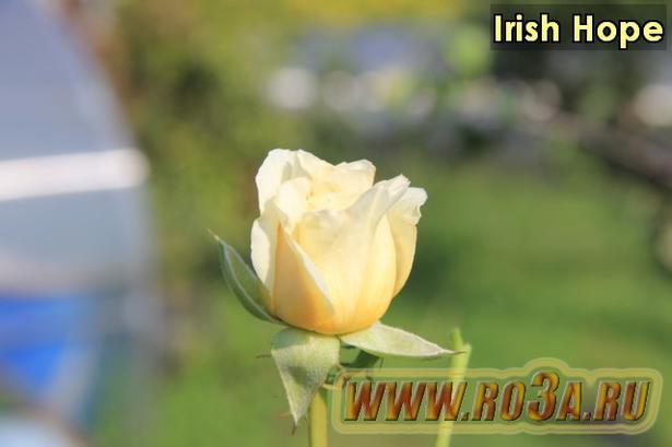Роза Irish Hope Ириш Хоуп