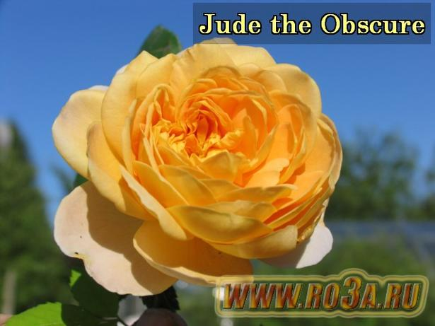 Роза Jude the Obscure Джуде де Обскур