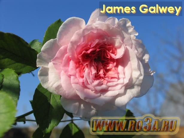 Роза James Galwey Джеймс Гэлвей