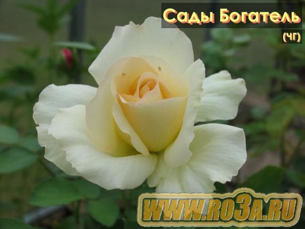 Роза Jardins de Bagatelle Сады Богатель