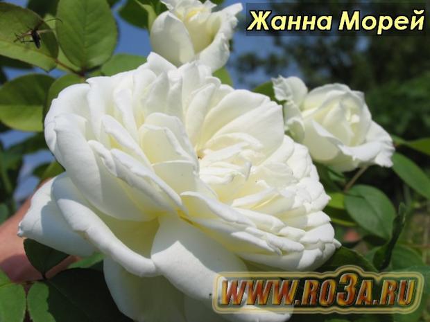 Роза Jeanne Moreau Жанна Морей