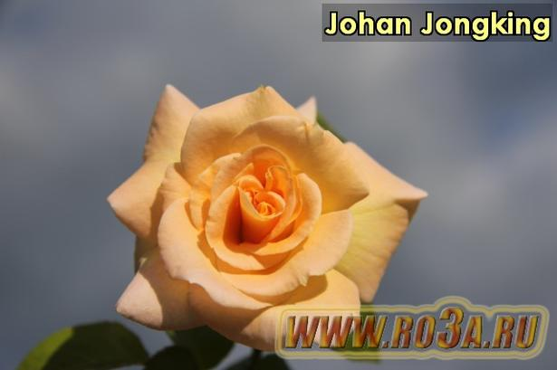Роза Johan Jongking Жоан Жокинг