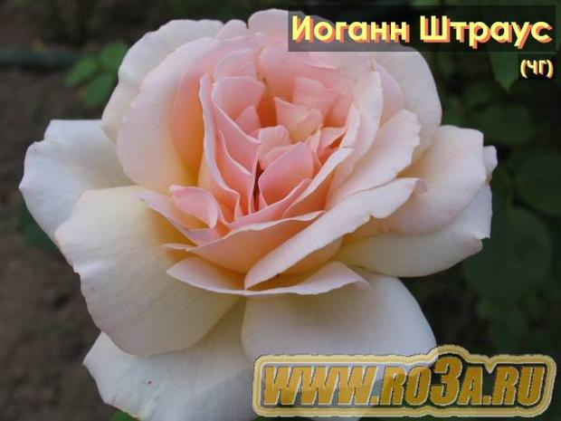 Роза Johann Strauss Иоганн Штраус