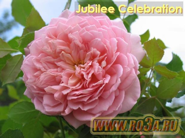 Роза Jubilee Celebration Юбилей Селебрейшн