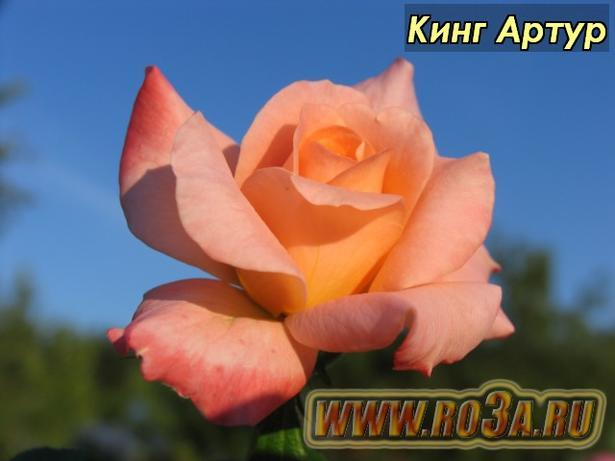 Роза King Arthur Кинг Артур