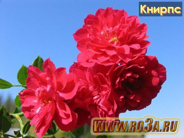 Роза Knirps Книрпс