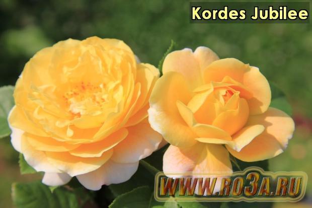 Роза Kordes Jubilee Кордес Юбилей