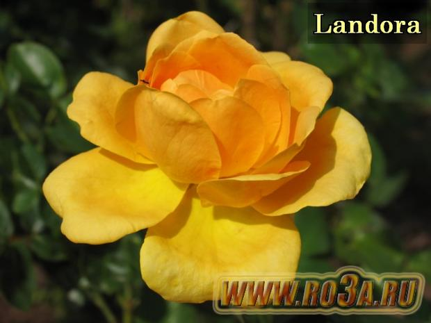 Роза Landora Ландора Sunblest</li>