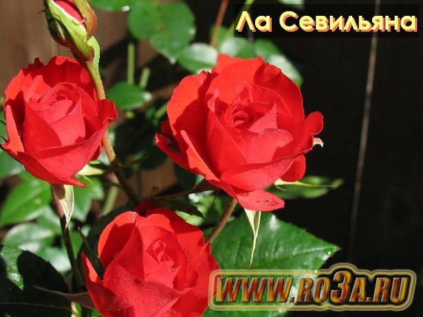 Роза La Sevillana Ла Севильяна