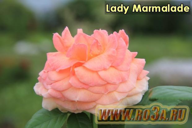 Роза Lady Marmalade Лэди Мармелад