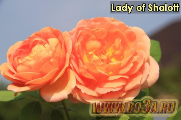 Роза Lady of Shalott Лэди оф Шалотт