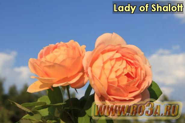 Роза Lady of Shalott Лэди оф Шалотт