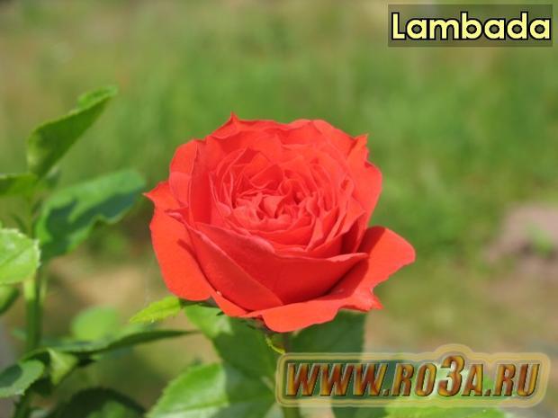 Роза Lambada Ламбада