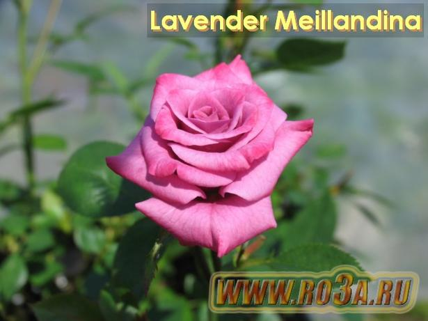 Роза Lavender Meillandina Лавендер Меландина
