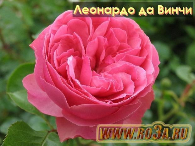 Роза Leonardo de Vinci Леонардо да Винчи