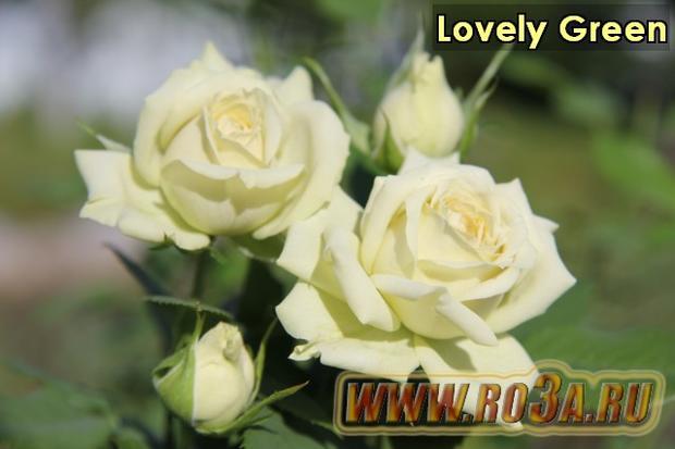 Роза Lovely Green Лавли Грин