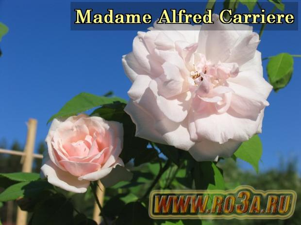 Роза Madame Alfred Carriere Мадам Альфред Карьер