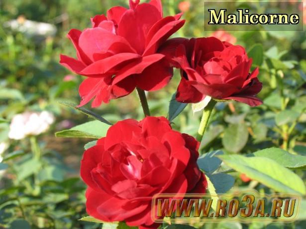 Роза Malicorne Маликорн