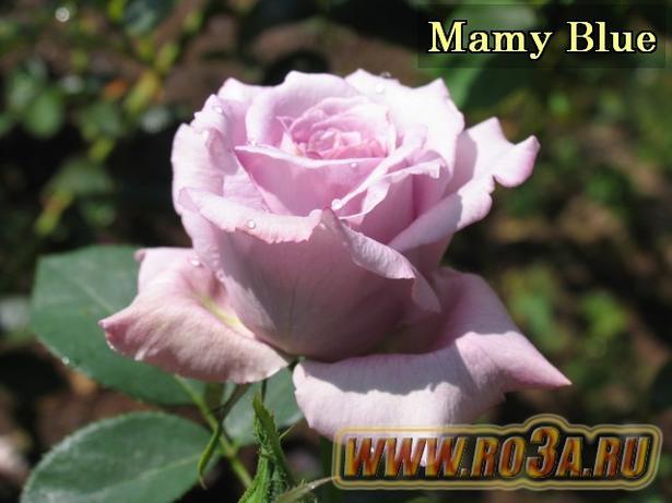 Роза Mamy Blue Мами Блю