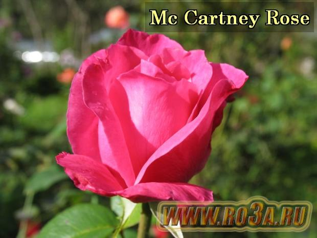 Роза The Mc. Cartney Rose Маккартни