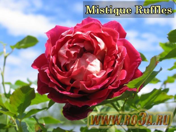 Роза Mistique Ruffles Мистик Раффлс