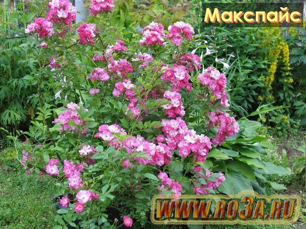 Роза Macspais Макспайс