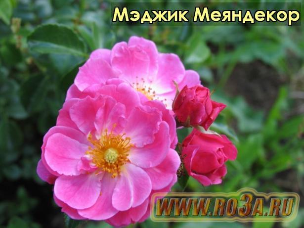 Роза Magic Meillandecor Мэджик Меяндекор