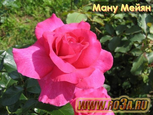 Роза Manou Meilland Ману Мейян