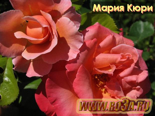 Роза Marie Curie Мария Кюри