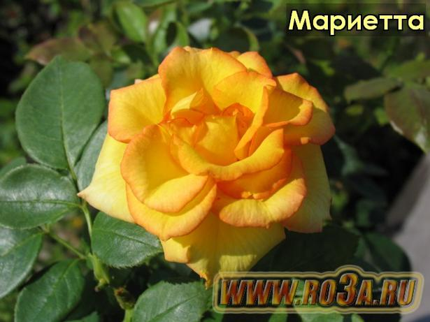 Роза Marietta Мариетта