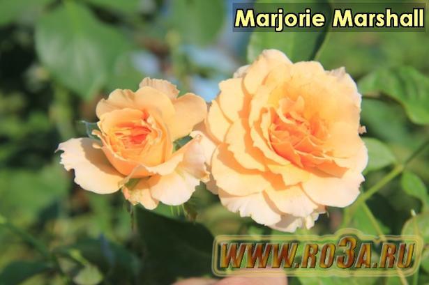 Роза Marjorie Marshall Маджори Маршал