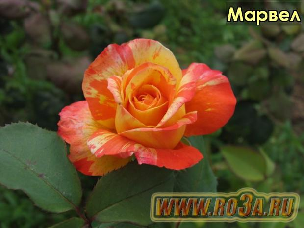 Роза Marvelle Марвел