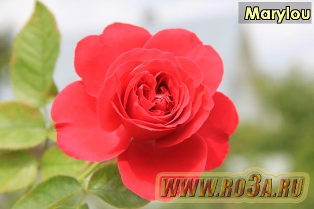 Роза Marylou Марилой