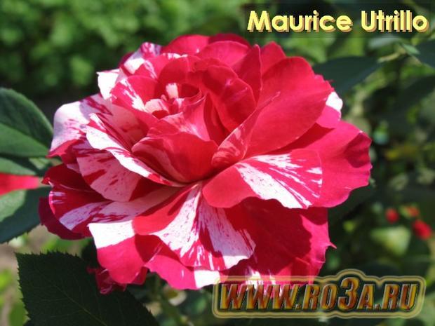 Роза Maurice Utrillo Маурици Утрилло