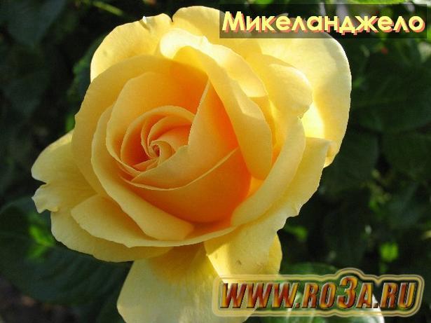 Роза Michelangelo Микеланджело