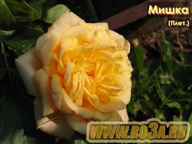 Роза Michka Мишка