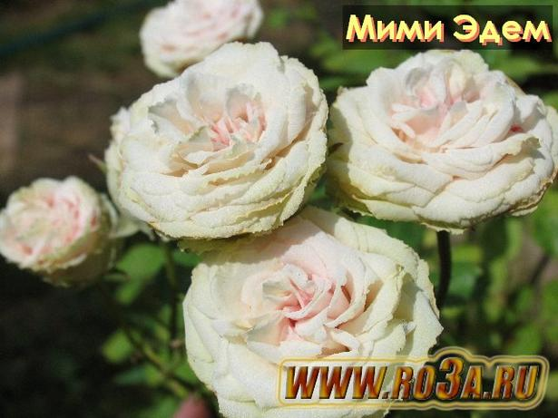 Роза Mimi Eden Мими Эдем