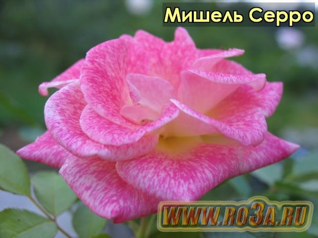Роза Michel Serrault Мишель Серро