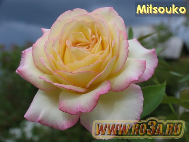 Роза Mitsouko Митсоуко