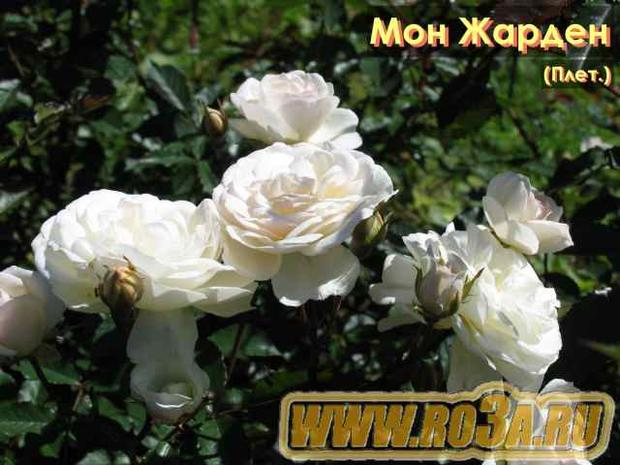 Роза Mon Jardin Et Ma Maison Мон Жарден