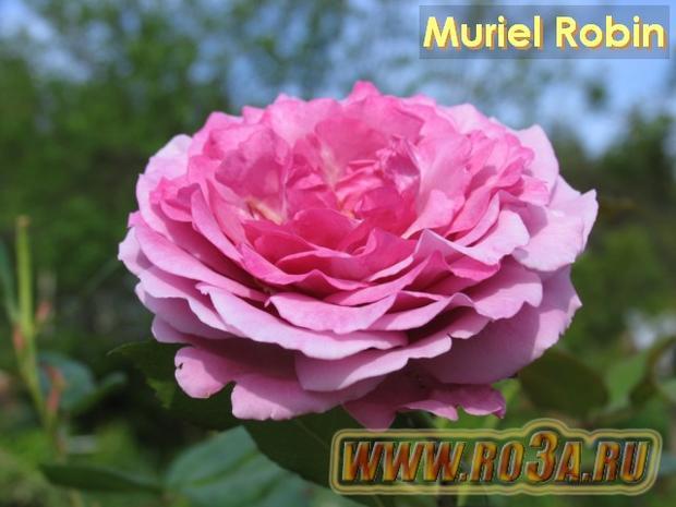 Роза Muriel Robin Муриэл Робин